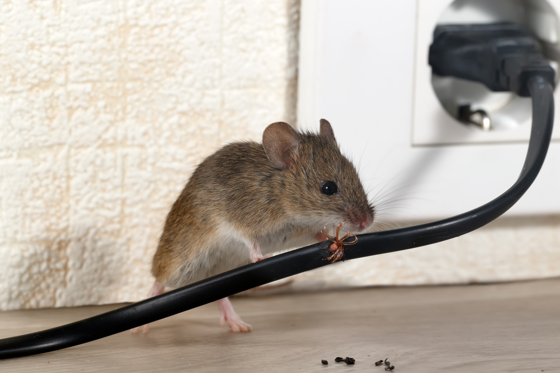 Mice Infestation, Pest Control in Ealing, W5. Call Now 020 8166 9746