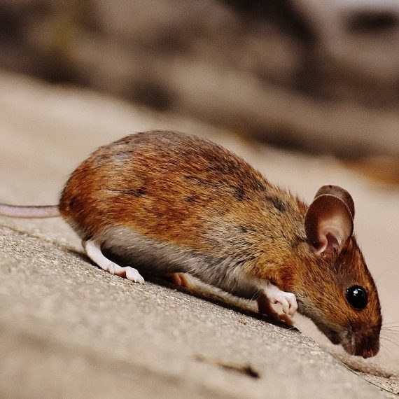 Mice, Pest Control in Ealing, W5. Call Now! 020 8166 9746