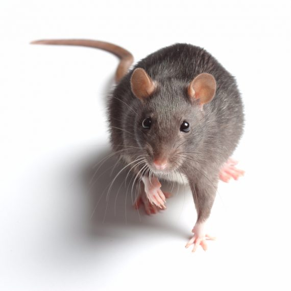 Rats, Pest Control in Ealing, W5. Call Now! 020 8166 9746