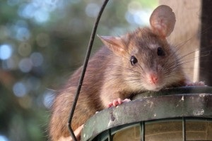 Rat extermination, Pest Control in Ealing, W5. Call Now 020 8166 9746