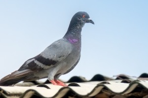 Pigeon Control, Pest Control in Ealing, W5. Call Now 020 8166 9746