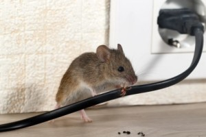 Mice Control, Pest Control in Ealing, W5. Call Now 020 8166 9746