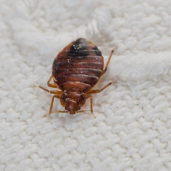Bed Bugs, Pest Control in Ealing, W5. Call Now! 020 8166 9746