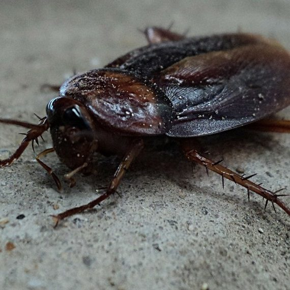 Cockroaches, Pest Control in Ealing, W5. Call Now! 020 8166 9746