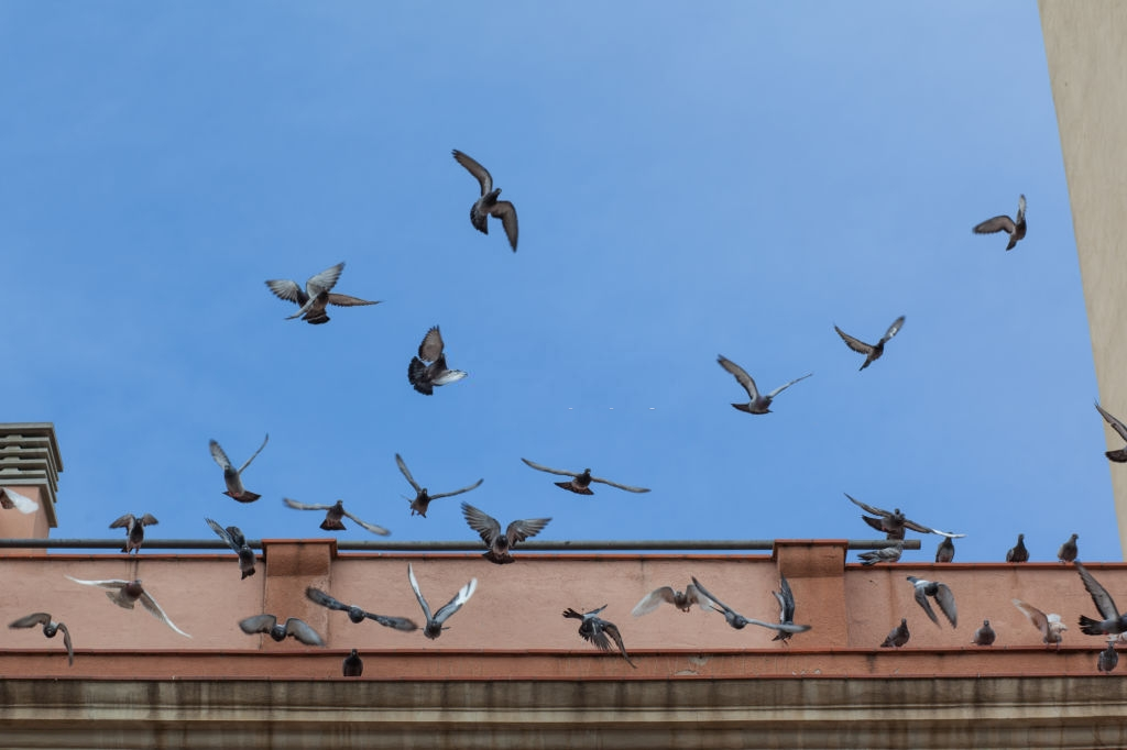 Pigeon Pest, Pest Control in Ealing, W5. Call Now 020 8166 9746