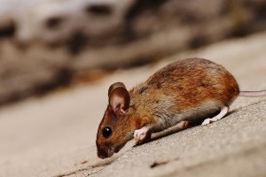 Mouse extermination, Pest Control in Ealing, W5. Call Now 020 8166 9746